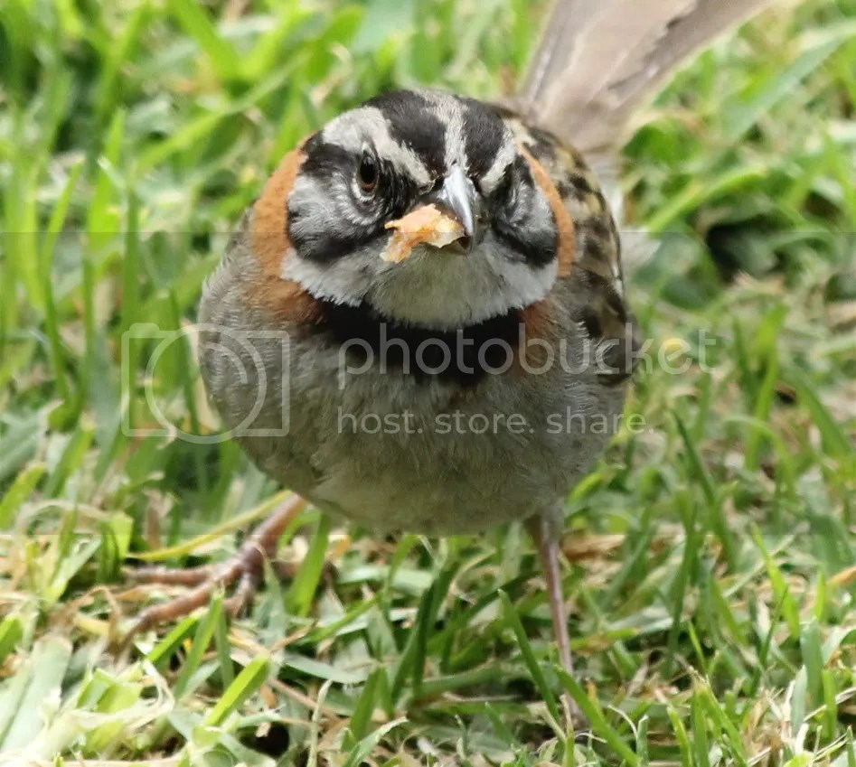 Rufous-collared Sparrow by Justin Proctor - La Paz Group