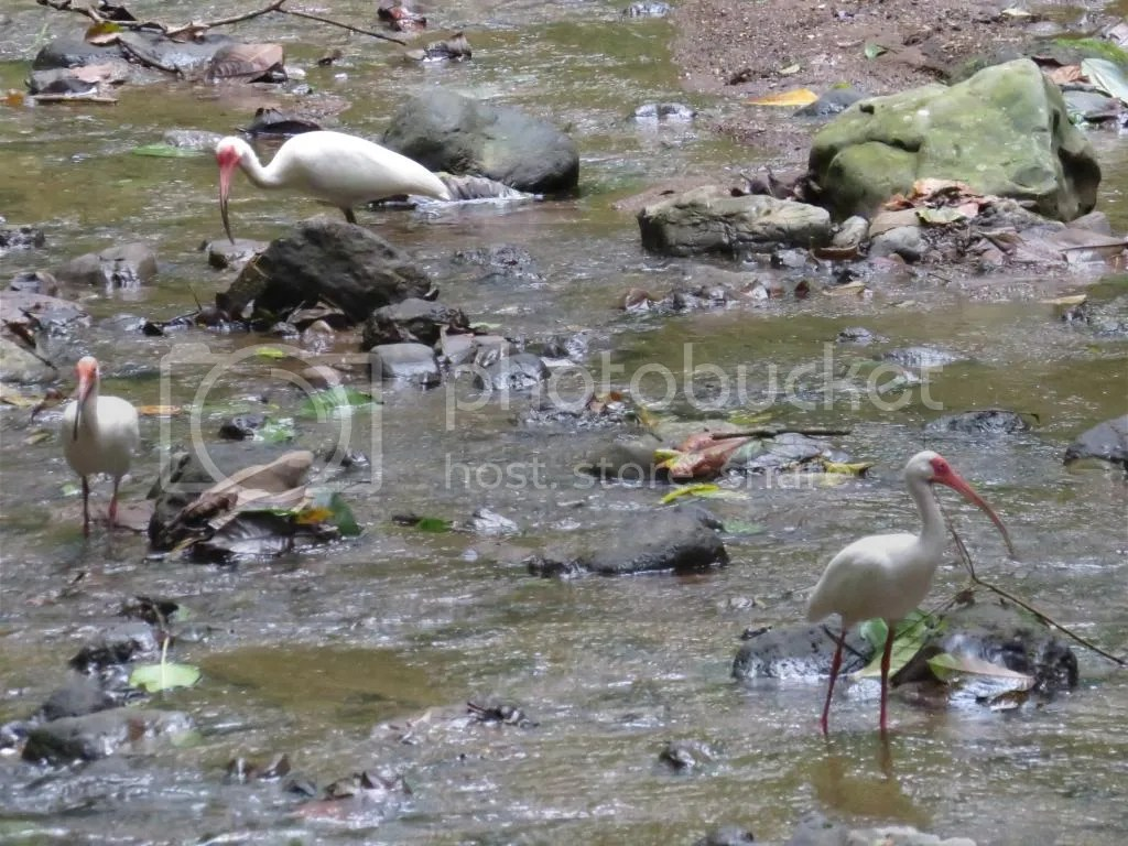 White Ibis by Seth Inman - La Paz Group