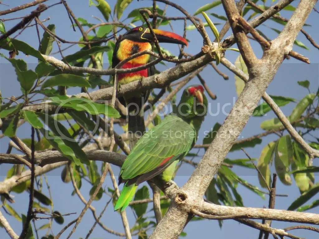 Fiery-billed Araçari and Red-lored Parrot by Seth Inman - La Paz Group