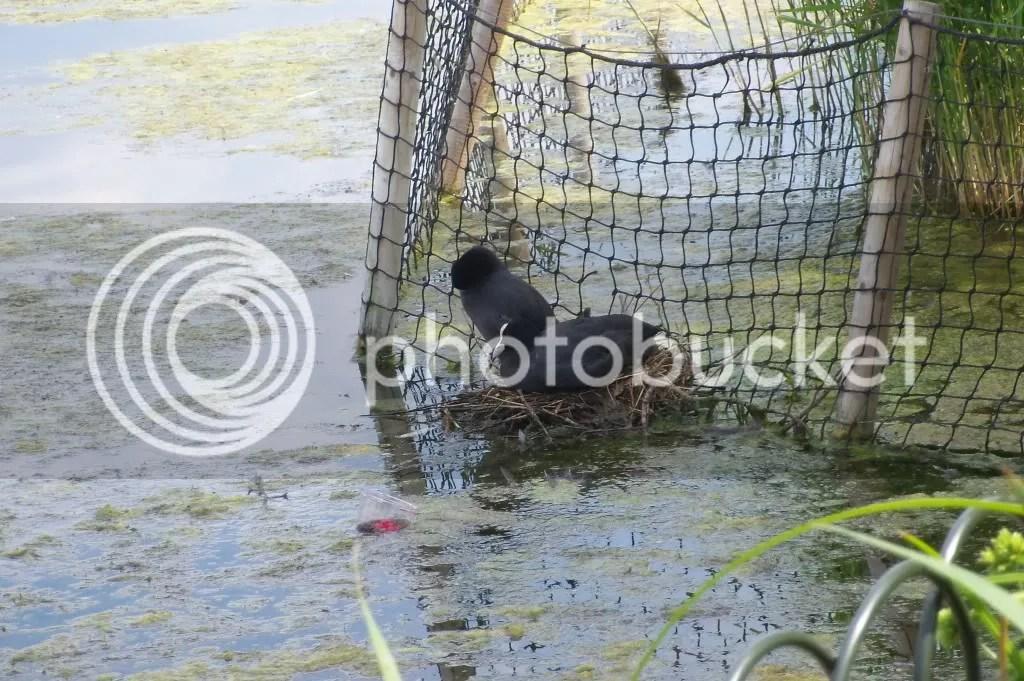 Nesting coots