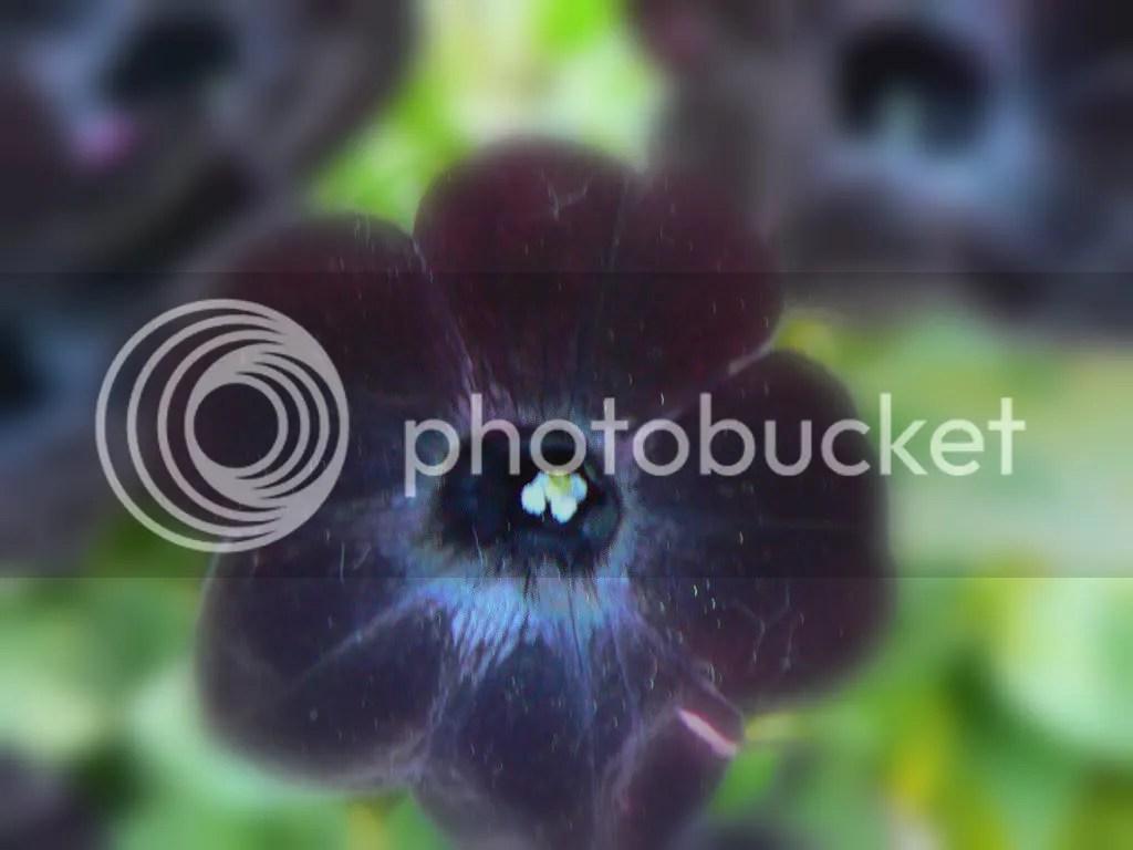 ricerca di fiori neri  Forum di Giardinaggioit