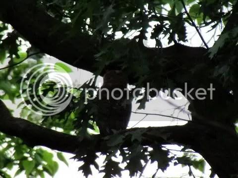 owl siltee 250511 fp
