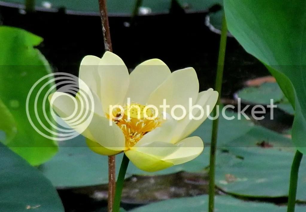 yellow lotus fp 110711 photo IMG_3593-1.jpg
