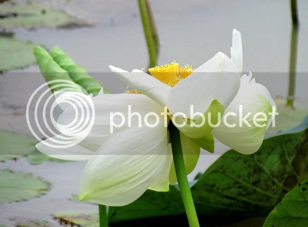 white lotus 070811 rghli