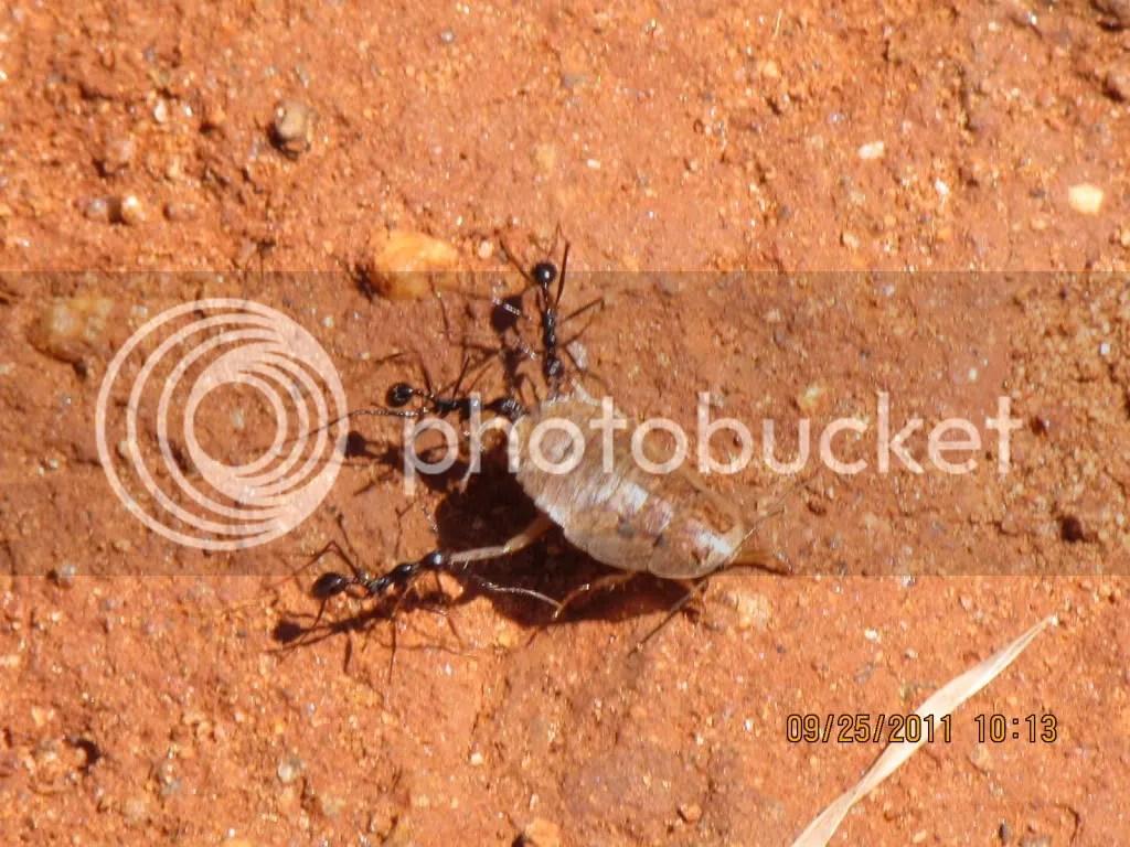 ants drgn insct trhli 250911