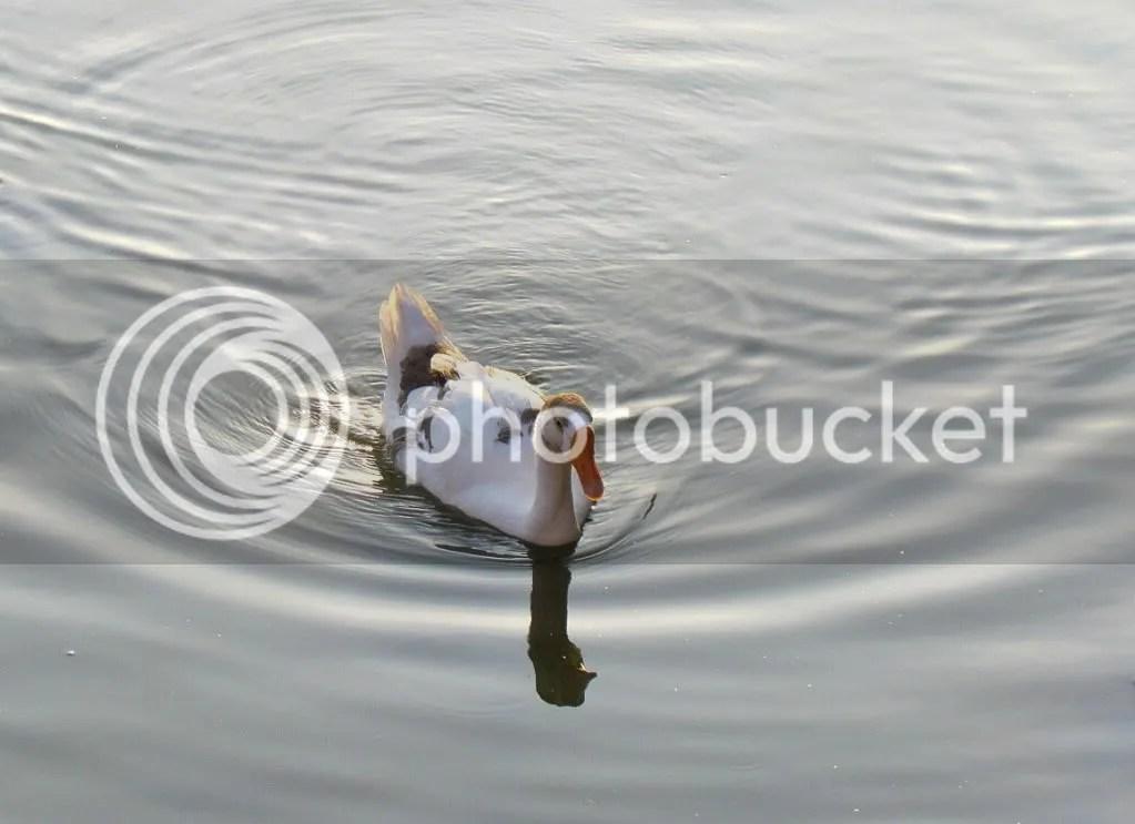 duck water drp lb 150312