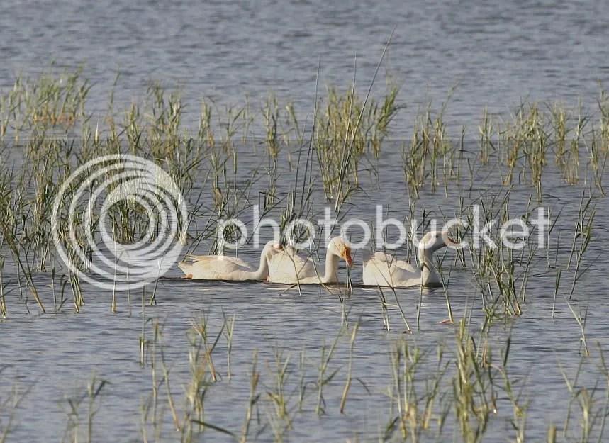 L 3 geese 291211 mnchnble