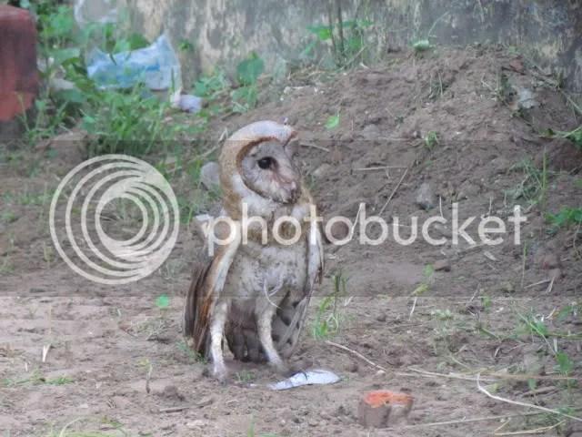 L Barn Owl sid Trkdyr 211211