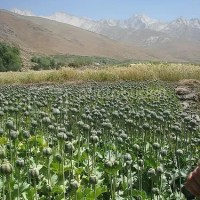 ON OPIUM: ITS HISTORY, LEGACY AND CULTURAL BENEFITS