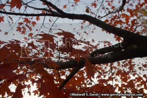 red leaf tree ©Maxwell S. Gersh