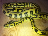 Irian Jaya Carpet Python - Carpet Vidalondon