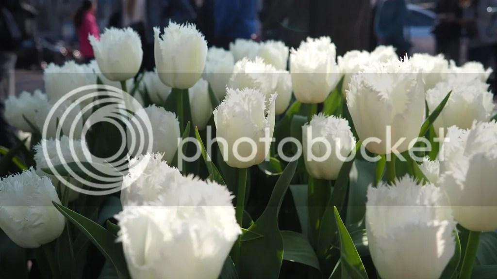 photo Tulips_2_zpsxcax8y1m.jpg