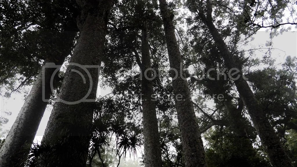 photo Puketi_Kauri_Forest_1_zpslkqnjtzs.jpg