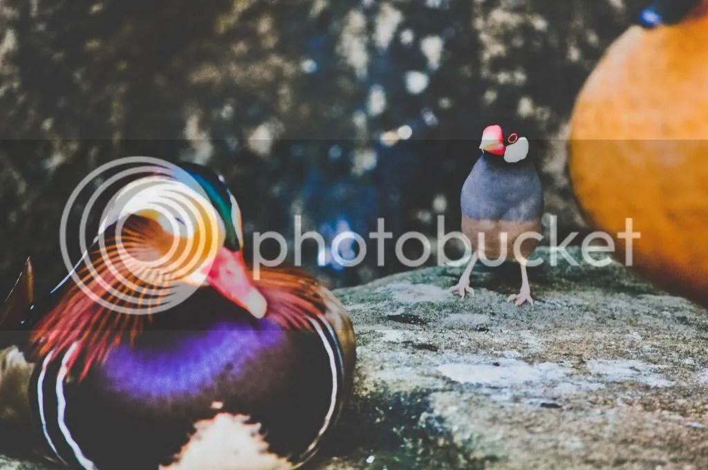 Mandarin Duck and Java Finch