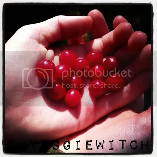 Choke Cherries