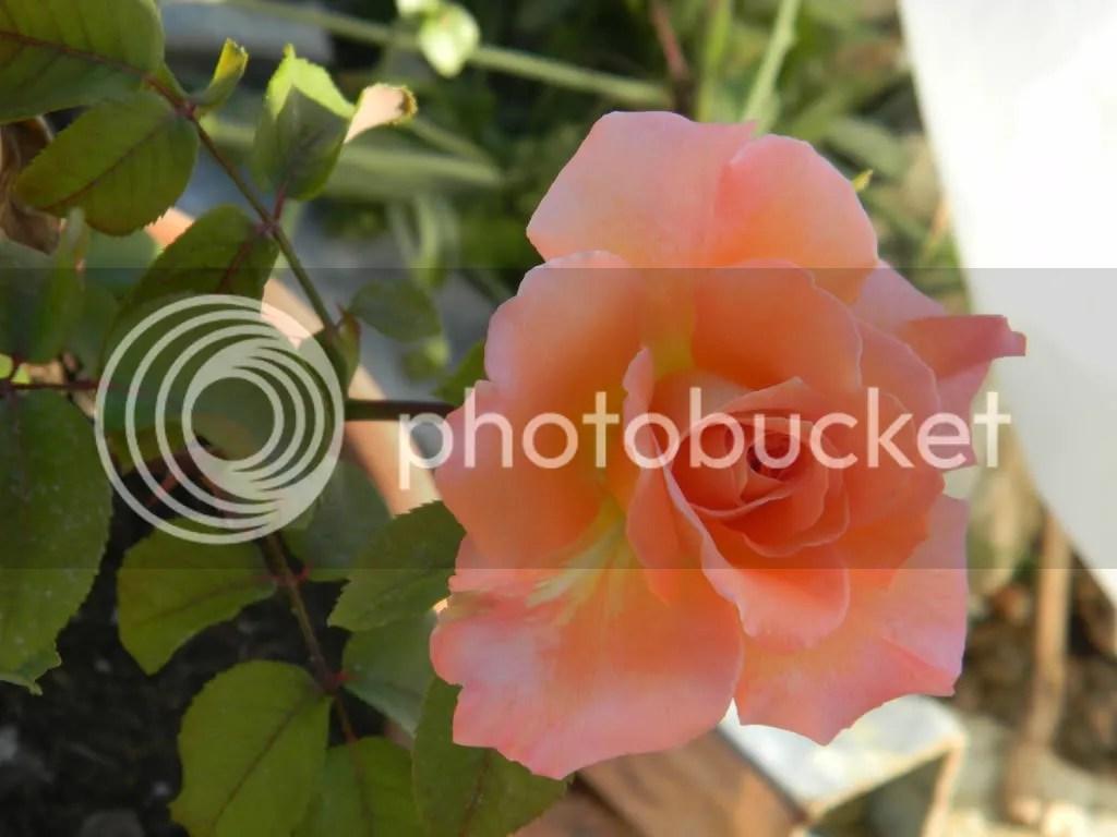 Le mie rose  Forum di Giardinaggioit