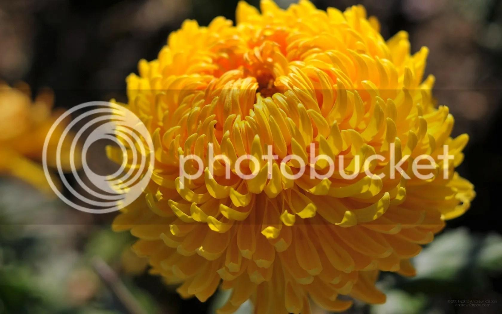 photo crizantema.jpg