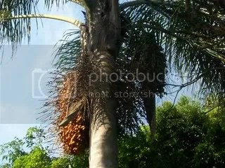 Cocos Palm