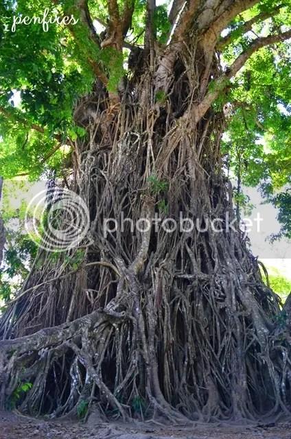 Balete Tree Baler