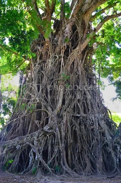 Balete Tree Maria Aurora