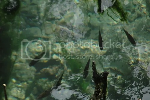 Fish in a freshwater spring