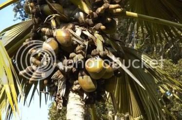 tree coconut, the coconut tree, pokok kelapa laut, pokok kelapa laut afrika, coco de mer