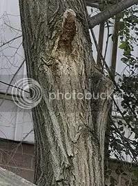 Virgin Mary in Tree Bark
