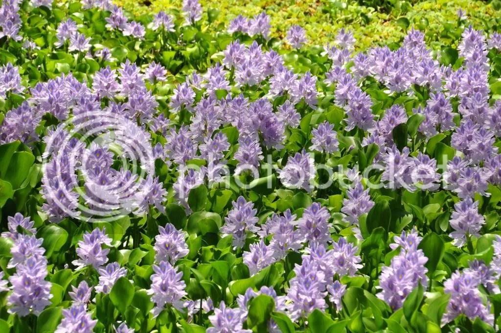 【布袋蓮】 英名 Water Hyacinth
