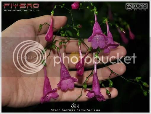 ฮ่อม, ทวีทรัพย์, Strobilanthes hamiltoniana, Strobilanthes cusia, Chinese rain bell, ไม้ล้มลุก, ดอกสีม่วง, ดอกสีชมพู, ไม้ไทย, ไม้หายาก, ต้นไม้, ดอกไม้, aKitia.Com