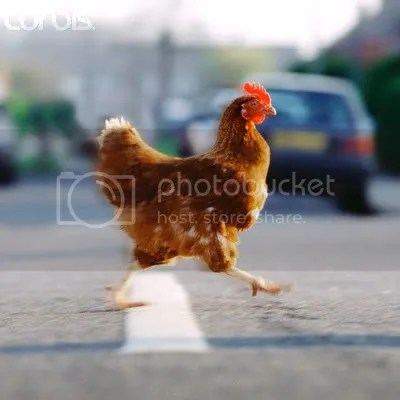 Chicken Crossing the Road Pictures, Images and Photos