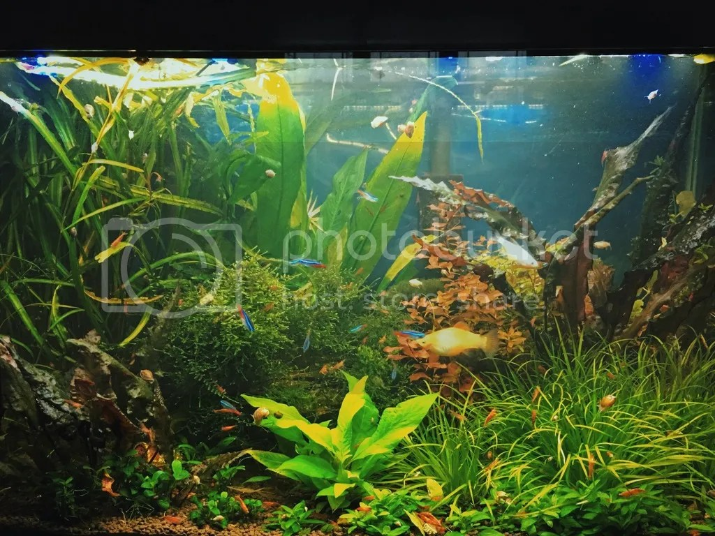 Planted Tank crypts anubius hygro corymbosa.jpg