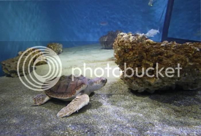 photo Monterey Bay Aquarium Turtle_zpsmyxz813z.jpg