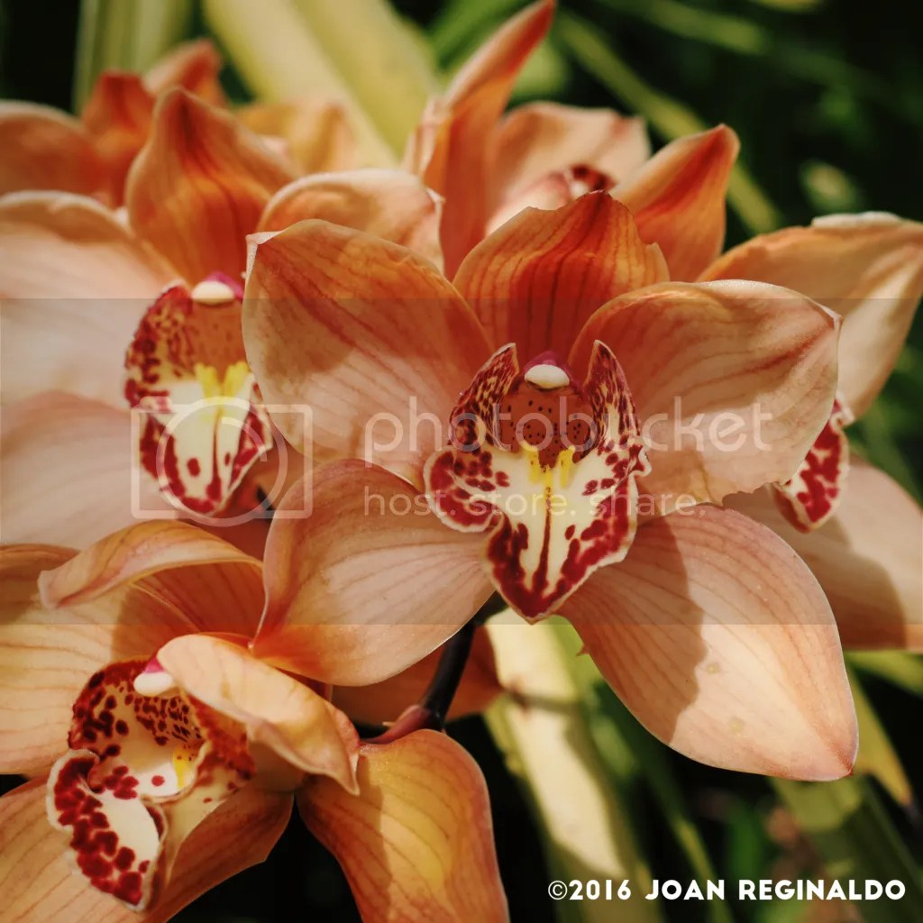 photo Peach Cymbidium_zpsftbn0ioy.png