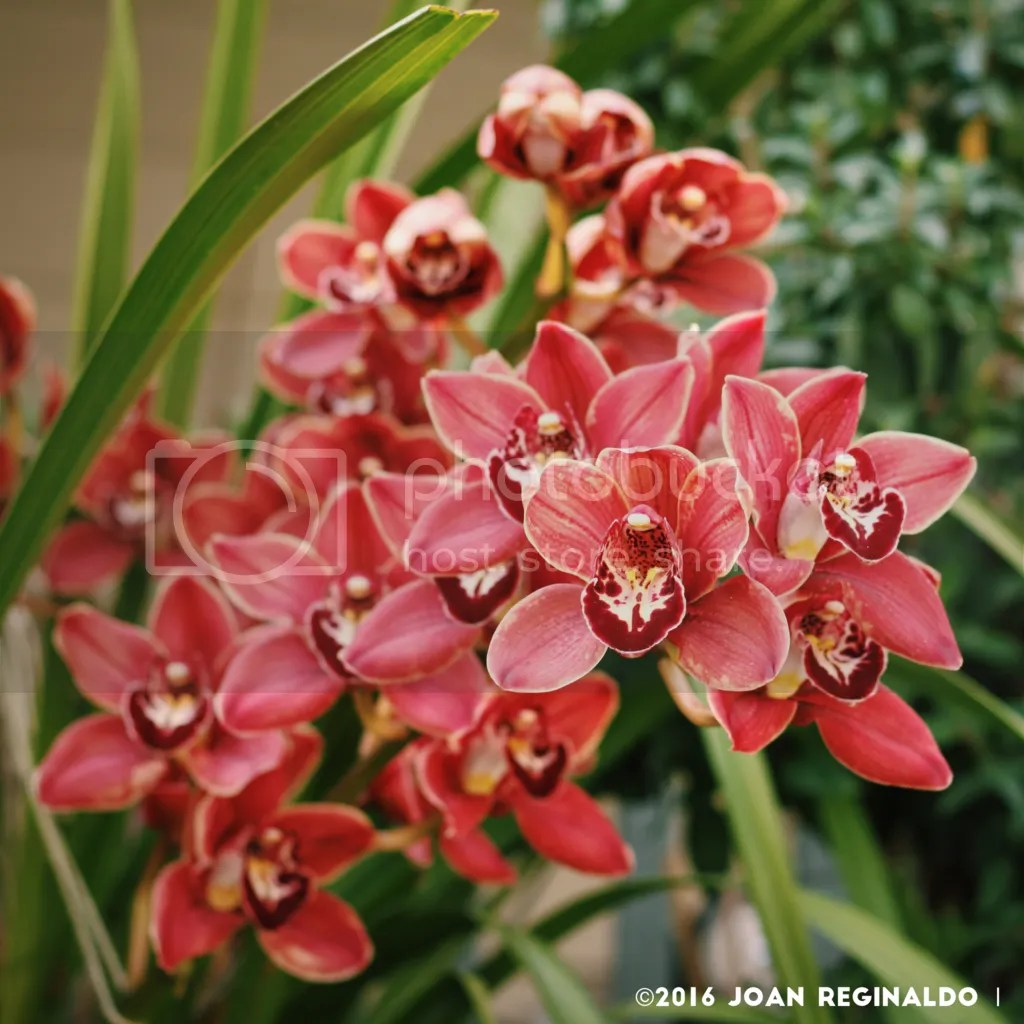 photo Pink Cymbidium 2_zps8k88tqpk.png