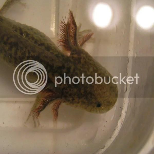 Wild Type Axolotl 21211971