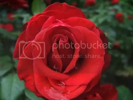 upclose rose