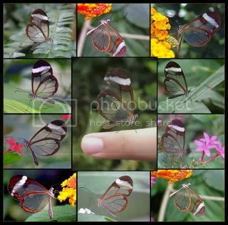 Glasswing butterflies