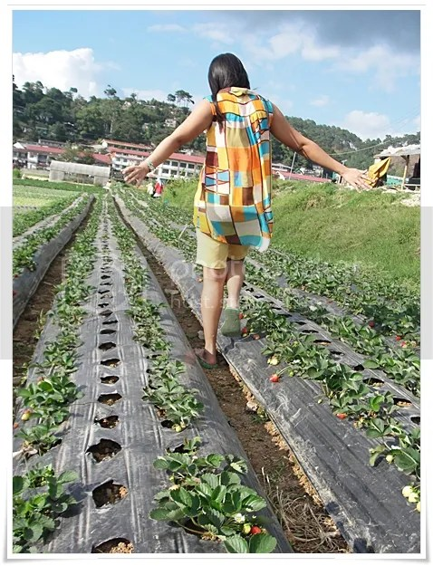 Strawberry Picking in La Trinidad Benguet near Baguio City