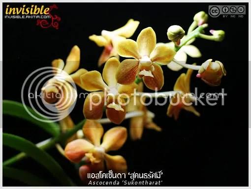 สุคนธรัศมิ์, Sukontharat, พรรณไม้พระนาม, กล้วยไม้พระนาม, กลิ่นหอม, กล้วยไม้ลูกผสม, แอสโคเซ็นดา, กล้วยไม้, ดอกไม้, ต้นไม้ , aKitia.Com