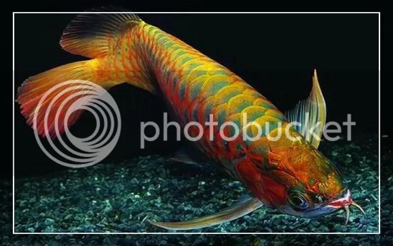 龍魚 - 活化石 - 風水魚 介紹 - Paddy Republic - udn城市
