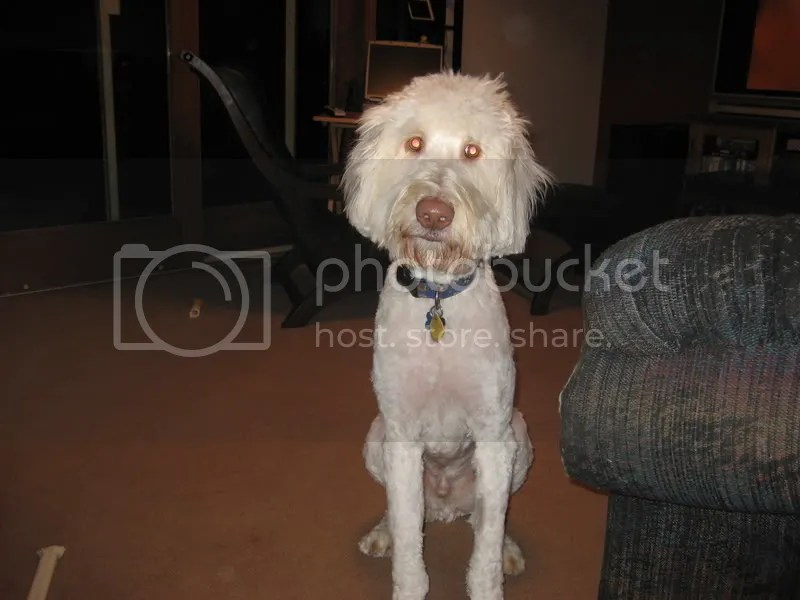 DOODLE SUMMER CUTS Pictorial Examples Labradoodle Forums