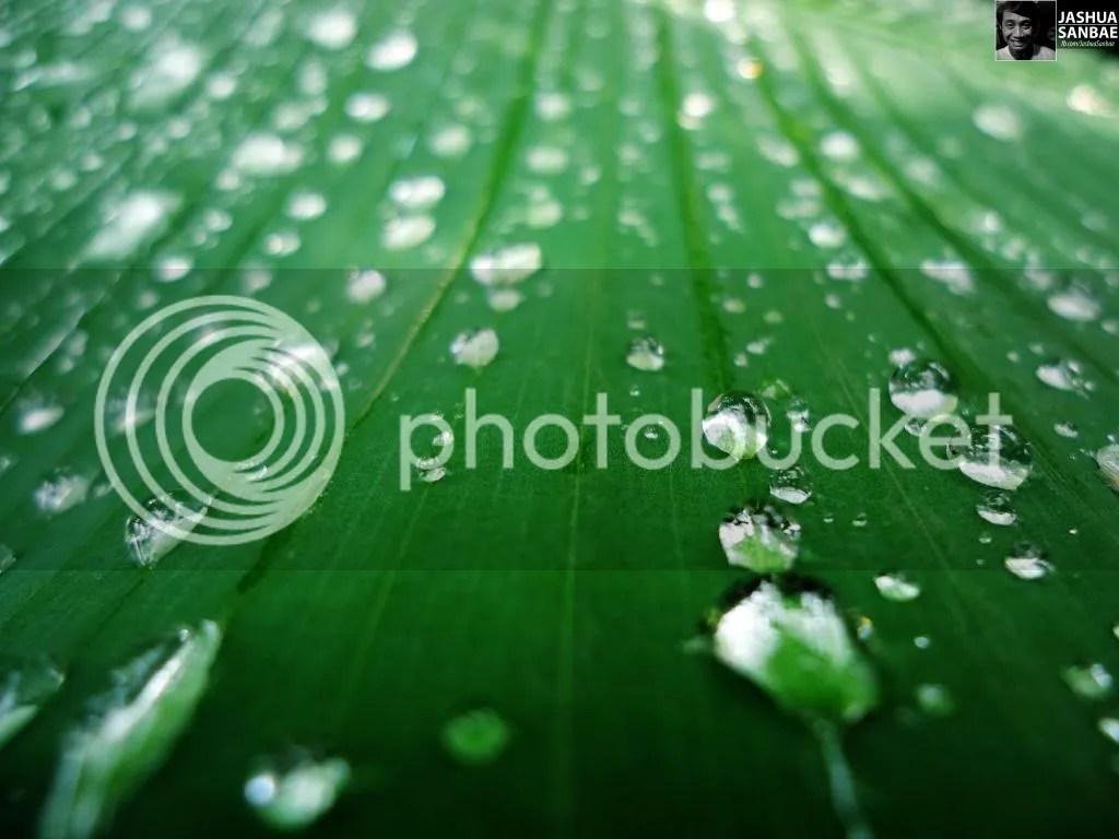 Banana Leaf with Droplets
