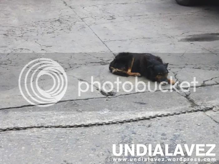 Perro Lídice