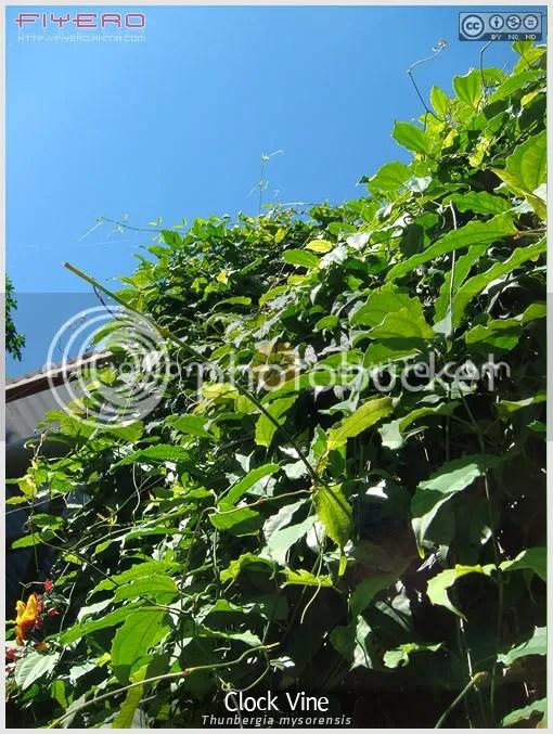 Clock Vine, Thunbergia mysorensis, Lady's Slipper Vine, Dolls' Shoes, Brick & Butter Vine, ไม้เถา, ไม้เลื้อย, ไม้แปลก, ไม้หายาก, ไม้ดอก, ไม้ประดับ, ต้นไม้, ดอกไม้, aKitia.Com