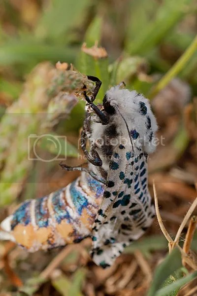 Gestippelde Houtvlinder
