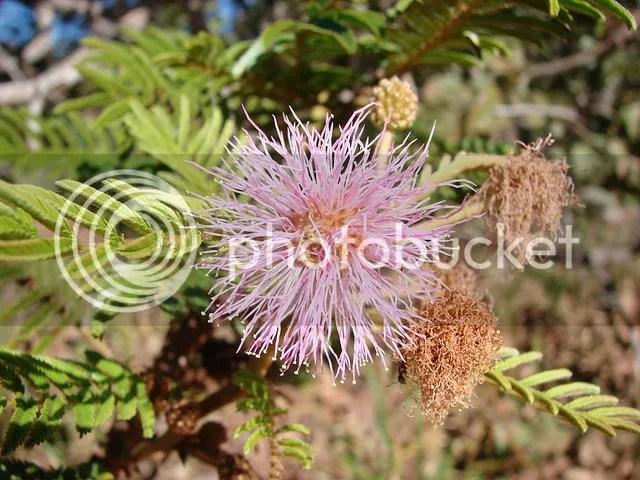 Mimose rare e particolari dal rosa al bianco passando per larancione rifiorenza foglie  Un