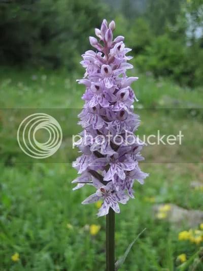 Orchidee Europee  Forum di Giardinaggioit