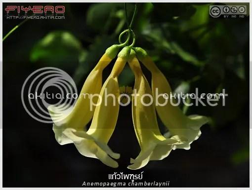 แก้วไพฑูรย์, Anemopaegma chamberlaynii, ไม้ดอกหอม, ไม้หายาก, ไม้เลื้อย, ไม้เถา, ดอกสีเหลือง, ดอกสีขาว, ต้นไม้, ดอกไม้, aKitia.Com