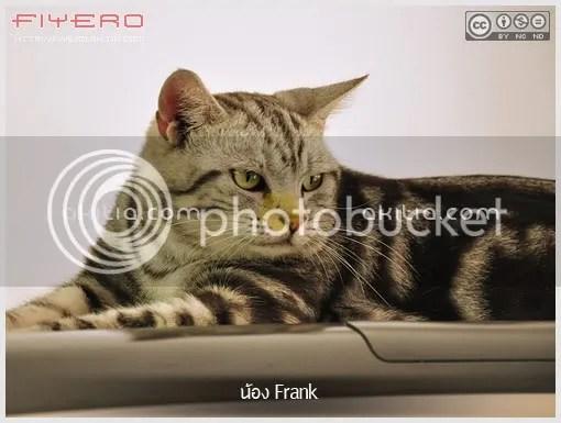 แมว, อเมริกันชอร์ตแฮร์, American Shorthair, cat, aKitia.Com