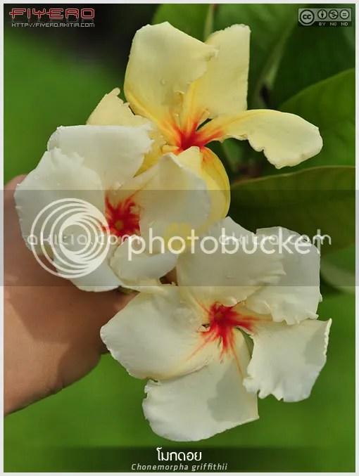 โมกดอย, โมกเทวา, Chonemorpha griffithii, ไม้ดอกหอม, ไม้หายาก, ไม้ไทยหายาก, ไม้เลื้อย, ไม้เถา, Frangipani Vine, ต้นไม้, ดอกไม้, aKitia.Com